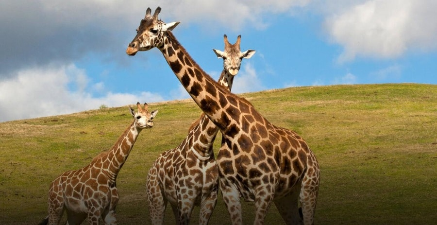 GIRAFFE CONSERVATION IN SOUTH AFRICA