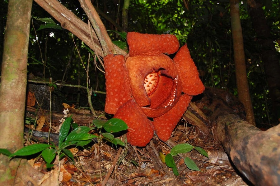 MARVEL AT THE WORLD'S LARGEST FLOWER IN GUNUNG GADING NATIONAL PARK